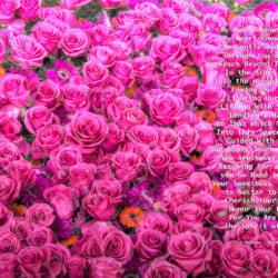 Favorite-Pink-Roses-signed-My-Heart-Knows-True10j