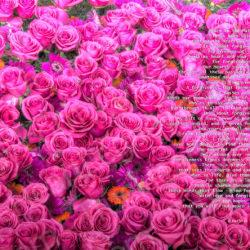 Favorite-Pink-Roses-signed-Peace-In-the-Matter-Poem11k