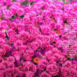 Favorite-Pink-Roses-signed-Sweetest-Poem