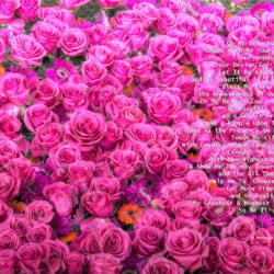 Favorite-Pink-roses-signed-Heart-Prayer